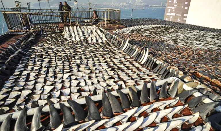 Shark Fin Trade: The Current State and Future Solutions